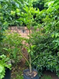 Mudas de abacate enxertado