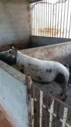 Cachaço reprodutor ótima linhagem da raça piau 140kg