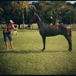 Cavalo mangalarga registro