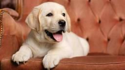 Labradores Femea e macho parcelamos sem juros