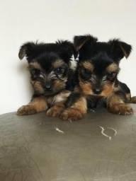 Yorkshare perrier filhotes baby face, com valor imperdível