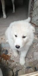 Husky Siberiano(FÊMEA)
