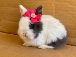 Título do anúncio: Mini coelhos netherland e fuzzy loop Ourinhos ?