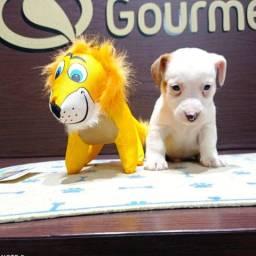 Título do anúncio: Lindos filhotes de Jack Russel Terrier com Pedigree