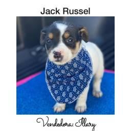 Jack Russel com pedigree e microchip até 18x