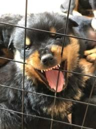 Título do anúncio: Vendo filhotes de rottweiler