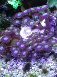 Coral zoanthos aquario marinho