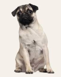 Filhote de Pug com pedigree 9 meses