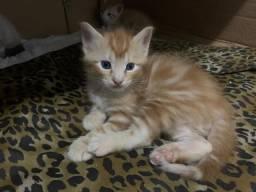 Gatos amarelos e frajola 1 mês de idade