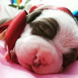 Natal Chegando Presenteie Alguém Especial - Filhotes de Pitbull