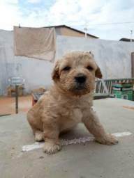 Vende-se Filhotes de Poodle