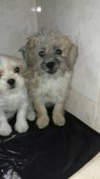 Filhotes de ihsa apso com poodlo fêmeas 100 reais