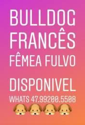 Bulldog Francês Fêmea (Porte Pequena)