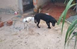 Labrador com dalmata