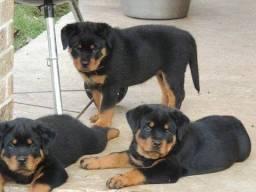 Rottweiler adquira da maior loja de filhotes do Brasil!