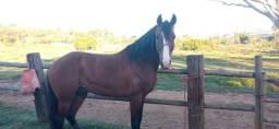 Título do anúncio: Vendo Cavalo Registrado Marcha Picada