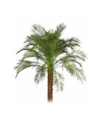 Mudas de Palmeira fênix de 30 a 40 cm