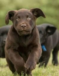 Título do anúncio: Labrador com garantia