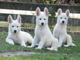 Vendo lindos filhotes de Pastor Alemão branco suíço.