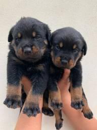 Título do anúncio: Vendo lindos filhotes de rottweiler