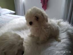 Título do anúncio: Cachorro maltês