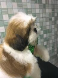 Filhote, Shih Tzu, macho, 2 meses e meio