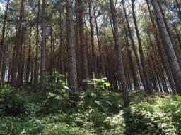 11 alqueires de pinos