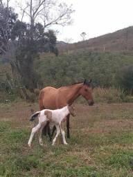 Vendo égua e potrinha