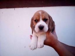 Beagle 13 polegadas, bicolor e tricolor, chamar no what's para informações *