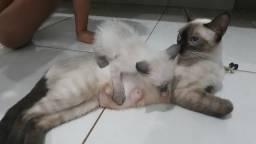Filhotes de gato siames