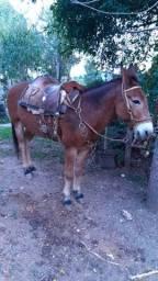 Burro mulo