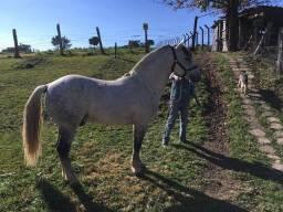 Cavalo Crioulo Disponível para Coberturas ( Padreação )