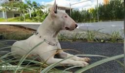 Cachorro Bull Terrier cobertura cruza