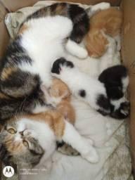 Gatos Persa e exótico