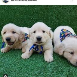 Filhotes de Golden Retriever disponíveis para entrega