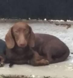 Título do anúncio: Cachorro Basset Dachshund chocolate