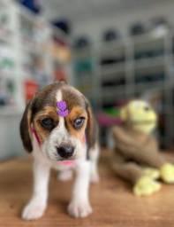 Título do anúncio: Beagle gracinha de filhote
