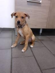 Filhote Pitbull 2 meses