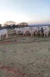 Título do anúncio: Vacas paridas