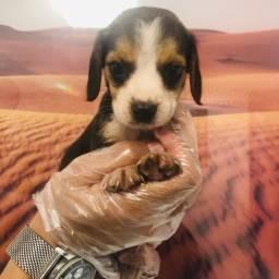 Beagle - seu filhote está aqui!