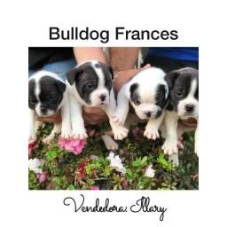 Bulldog Francês com pedigree e microchip até 18x