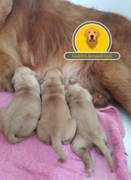 Filhotes Golden Retriever com pedigree (Fotos reais)