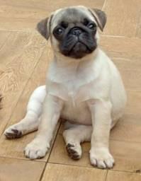 Título do anúncio: Cachorro fêmea pug