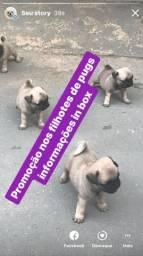 Pug promoção