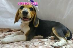 Beagle fêmea a pronta entrega, fotos reais sem enrolação, somos referência