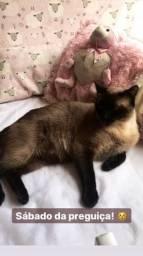 Doação de gato siamês