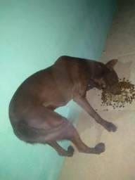Labrador marron 2 anos