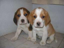 Beagle com suporte veterinário gratuito! Vacinados e vermifugados