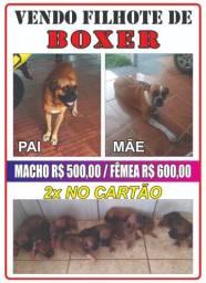 Filhote de Boxer * / *