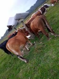 Boi e Vaca